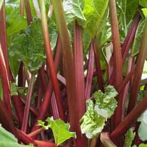 Red Stem Rhubarb