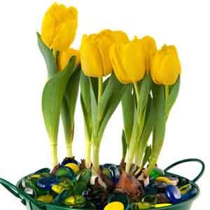 Tulip Indoors (Tulipa Hybrid)