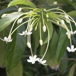 Needle Flower Tree, Tree Jasmine