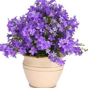 Bellflower Indoors (Campanula hybrid)
