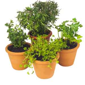 Potted Herbs Indoors