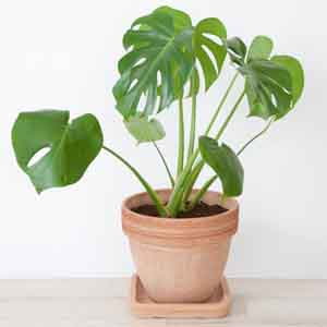 Monstera, Split Leaf Philodendron