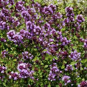 Creeping Thyme, Mother of Thyme
