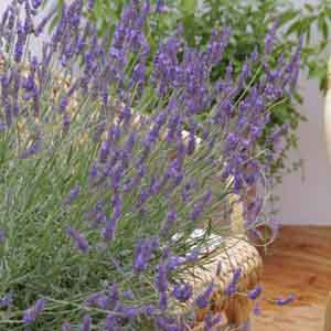 Lavandin, Dutch Lavender