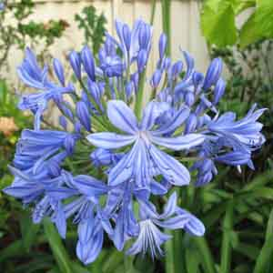 African Lily Indoors