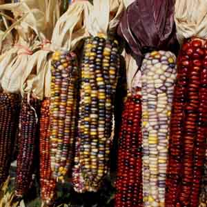Ornamental Corn