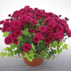 Pot Mum and English Ivy Combination