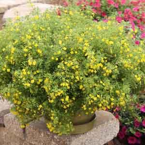 Scoparia, Licorice Weed