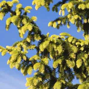 Golden Norway Spruce