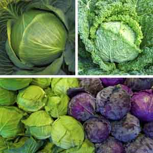 Early Cabbage