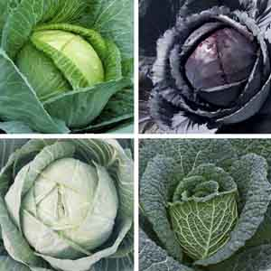 Late Cabbage