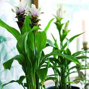 Siam Tulip Indoors