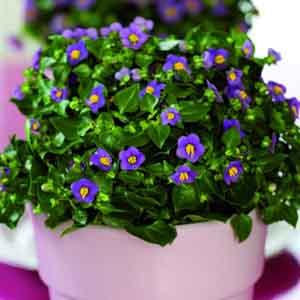 Persian Violet Indoors