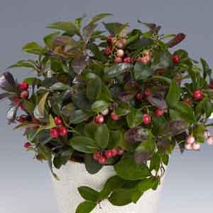 Wintergreen Plant Indoors