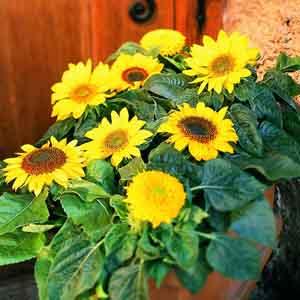 Sunflower Indoors
