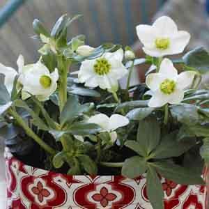 Lenten Rose, Christmas Rose, Hellebore Indoors