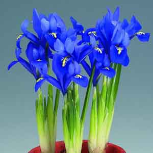 Iris Indoors
