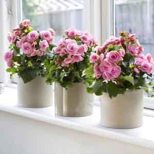 Rieger Begonia Indoors