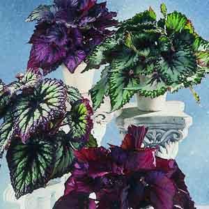 Rex Begonia Indoors