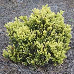 Golden Japanese Yew