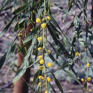Blue-Leaf Wattle