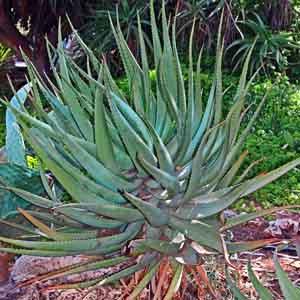 Aloe Shrub