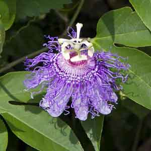 Passion Flower, Maypop