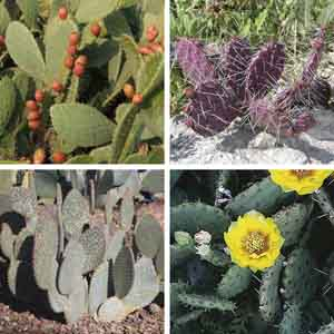 Prickly Pear, Bunny Ears Cactus Outdoors