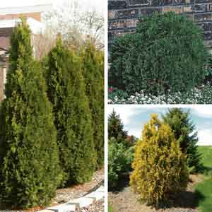 Arborvitae, Cedar