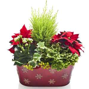 Poinsettia Foliage Mix