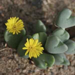 Cone Plant