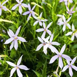 Laurentia, Blue Star