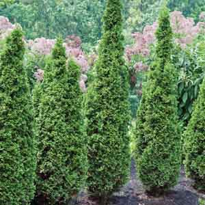 Columnar Arborvitae