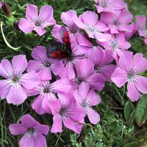 Cushion Alpine Pinks