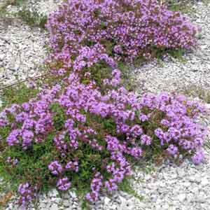 Tufted Thyme