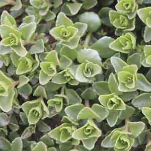 Creeping Stonecrop, Two Row Stonecrop