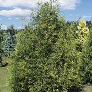 Black Hedging Cedar
