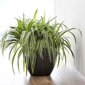 Zebra Grass Indoors