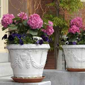 Patio Hydrangea