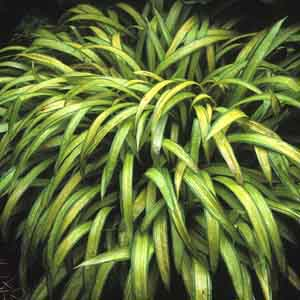 Broad-leaved Sedge