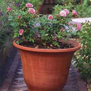 Potted Rose