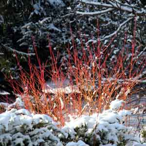 Coral Red Twig Dogwood