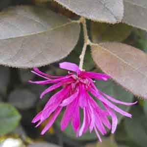 Chinese Fringe Flower