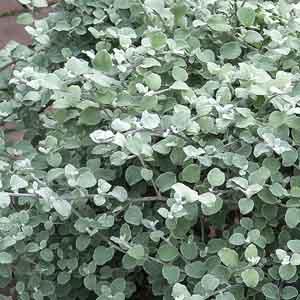 Helichrysum Hybrid
