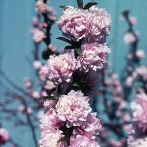 Double Pink Dwarf Flowering Almond