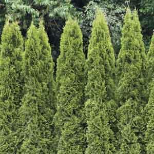 White Cedar, Eastern Arborvitae