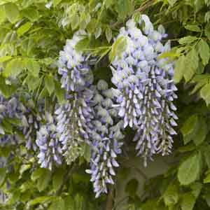 Kentucky Wisteria