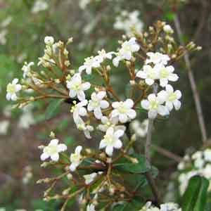 Small-leaf Arrowwood, Walter's Viburnum