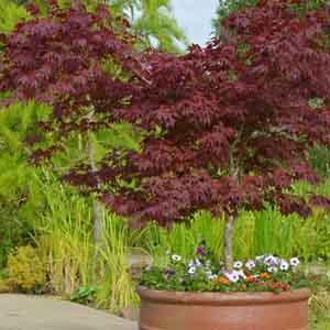 Patio Tree