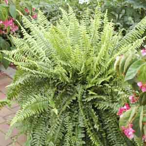 Annual Ferns